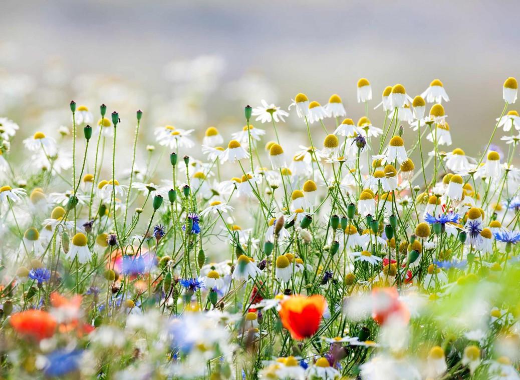 Nature-Daisies
